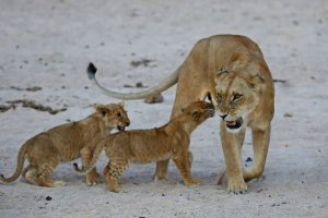 Une épidémie pourrait causer la fin des lions d'Asie