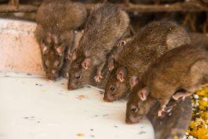Inde : le rat, un mets d'exception