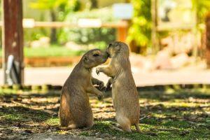 Les Sousliks arrivent au Bioparc de Doué : une nouvelle espèce pour la réouverture