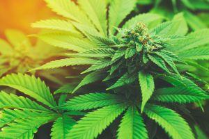 Le cannabis : une nouvelle attraction touristique