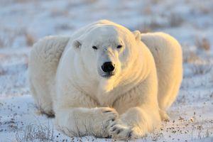 État d'urgence en Russie : des ours attaquent les passants