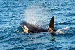 Nager avec des baleines sous les aurores boréales