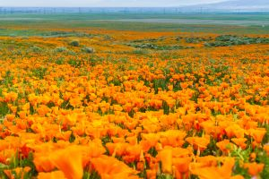 California's super bloom is expected to be huge this year