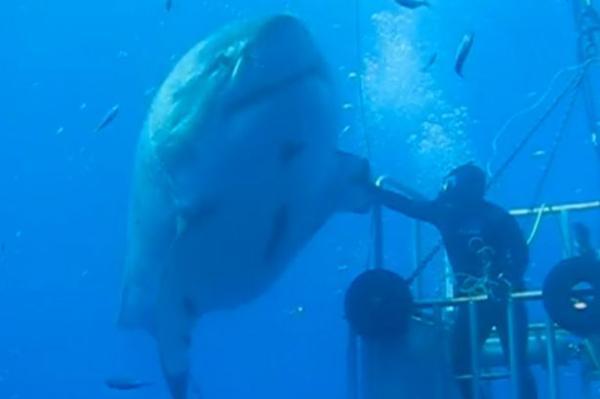 Video Le Plus Grand Requin Du Monde Easyvoyage