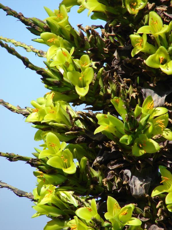 7. La Puya chilensis