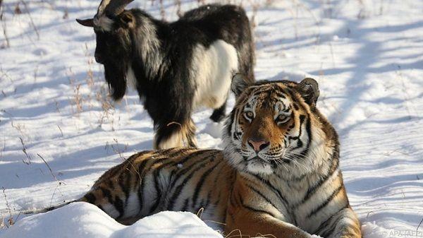 au ergew hnliche tierfreundschaft tiger spielt mit seinem essen easyvoyage. Black Bedroom Furniture Sets. Home Design Ideas