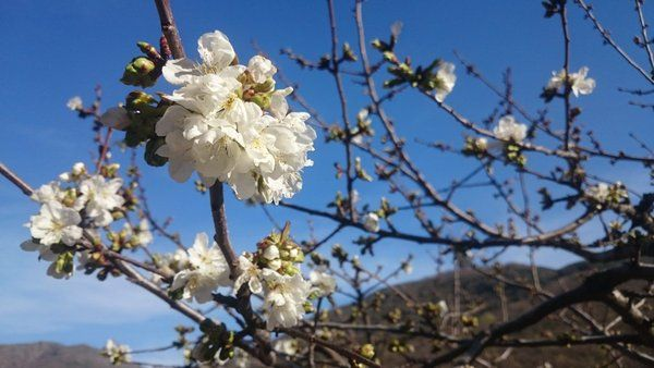 Los preciosos cerezos en flor