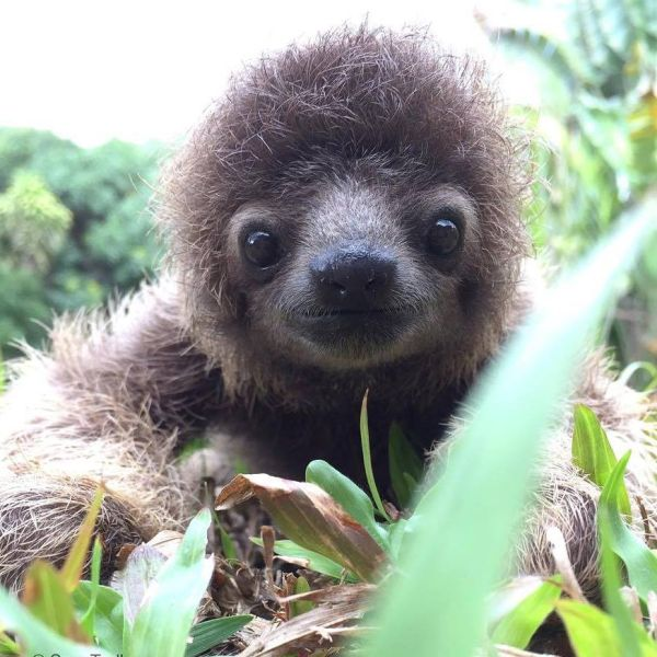 Love sloths? Keep your distance