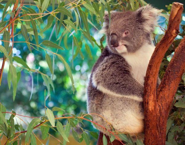 ¡Alarma! Debido a la deforestación, estos koalas se encuentran en la calle