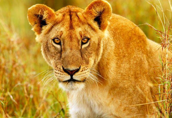 Des lionnes obèses créent la polémique en Russie