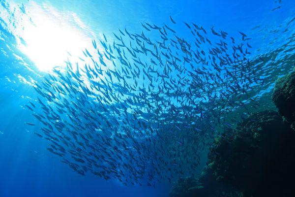 Les ébats de ce poisson peuvent rendre sourd