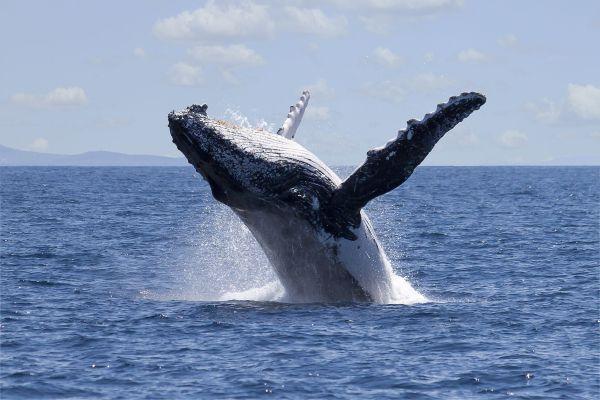 Quand une baleine protège une nageuse d'un requin, la vidéo est impressionnante
