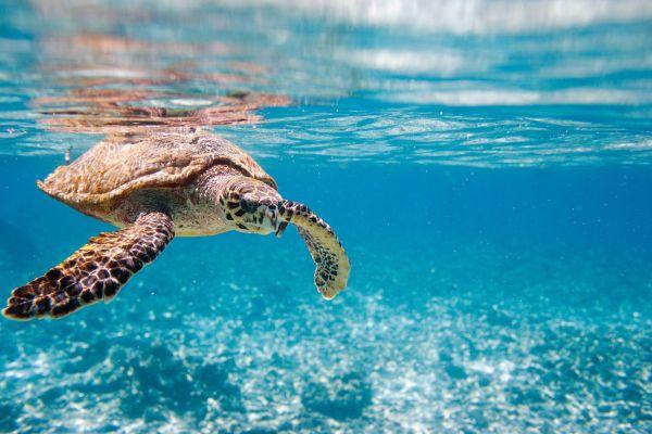Comment le réchauffement climatique influence le sexe des tortues marines