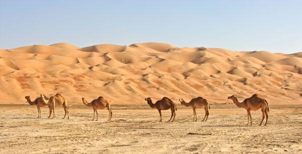 Arabie saoudite : découverte d'une sculpture géante de dromadaire dans le désert