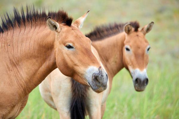 C'est officiel, il n'existe plus de chevaux sauvages sur Terre