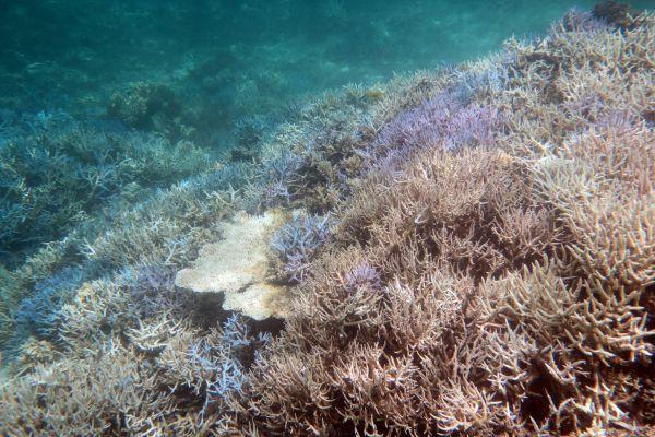Grande barrière de corail: un espoir de survie?