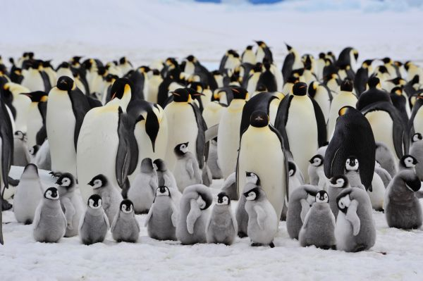 70% of emperor penguins may disappear by the end of the century