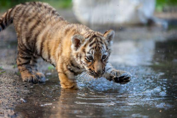 Vidéo : Un bébé tigre trouvé dans un centre de poste au Mexique