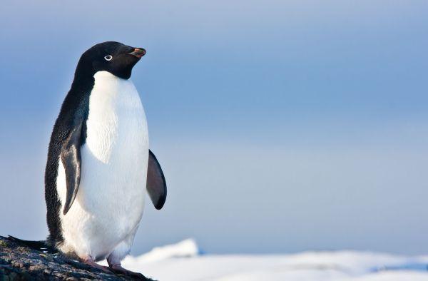 Une île secrète de plus d'un million de manchots découverte en Antartique !