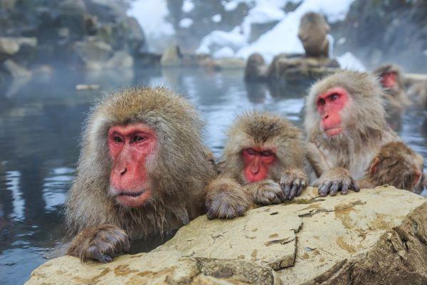 Des singes des neiges en cure thermale au Japon