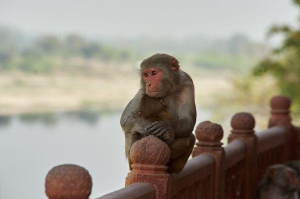 Des touristes français attaqués par des singes