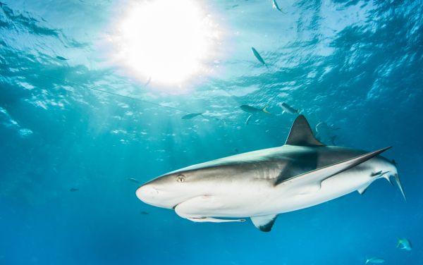 Un banc de 700 requins en Polynésie Française !