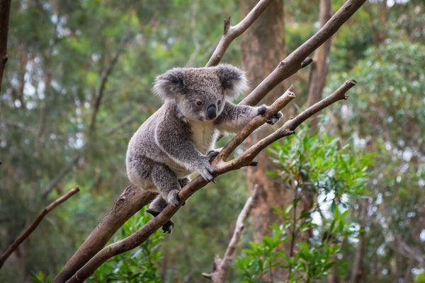 En Australie, les koalas se meurent