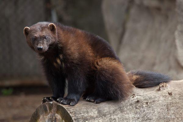 Le véritable Wolverine n'est autre que le glouton, terreur du Grand Nord
