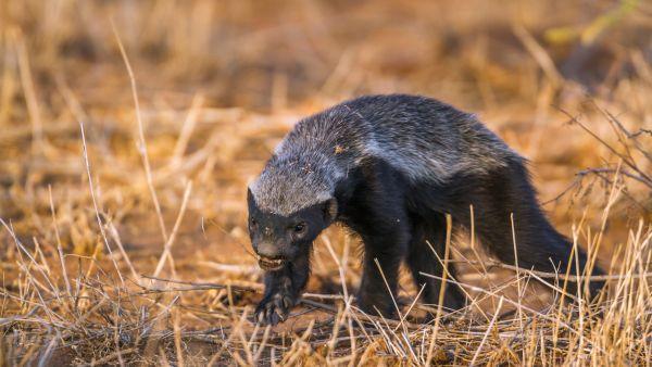 Le ratel, la bête noire des animaux