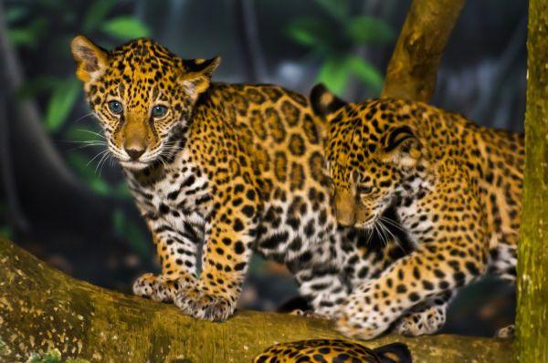 Naissances extraordinaires de deux bébés jaguar au zoo de Vincennes