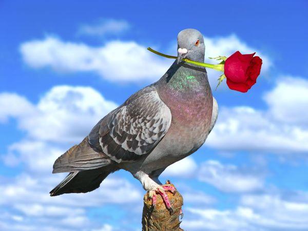Les pigeons voyageurs font la course à Cuba