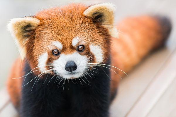 Le zoo de Branféré pleure le décès de Pô, le panda roux
