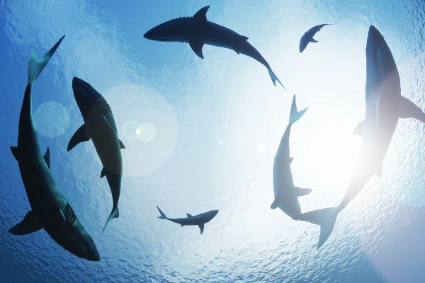 Une pouponnière de requins rares découverte au large de la côte irlandaise