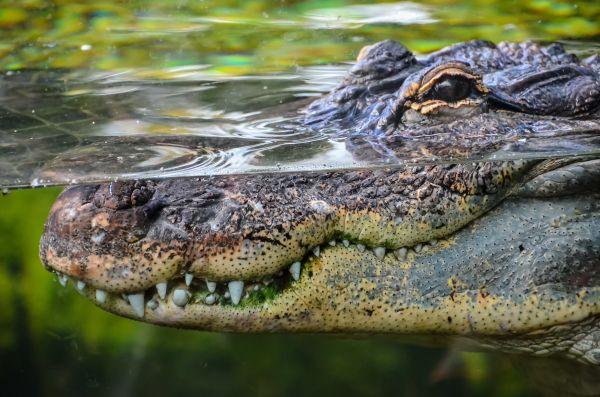 Vidéo : un crocodile géant paralyse la circulation en Australie
