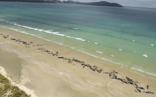 150 cétacés retrouvés morts, alignés, sur une plage de Nouvelle-Zélande