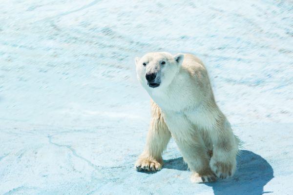 Plusieurs milliers d'ours polaires découverts en bonne santé en Alaska