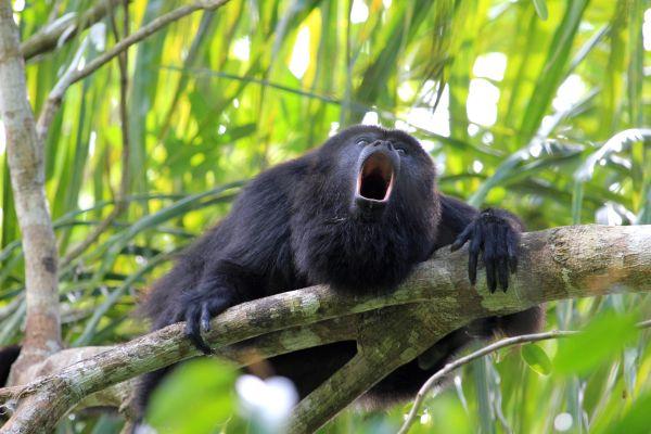 Au Costa-Rica, les singes changent de couleur à cause des pesticides