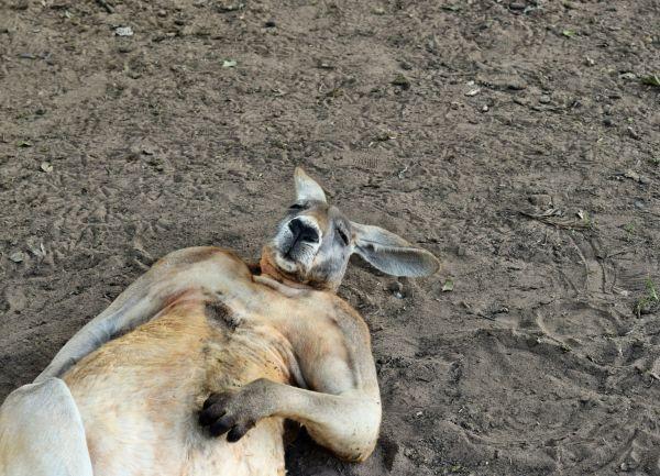 Le plus célèbre des kangourous est mort