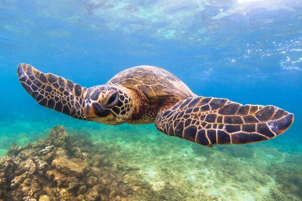 Une compagnie nippone fait peindre des tortues d'Hawaii sur ses avions