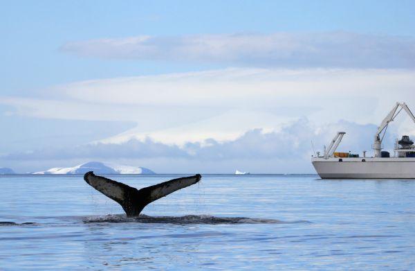 """Le Japon veut reprendre la pêche """"commerciale"""" à la baleine"""