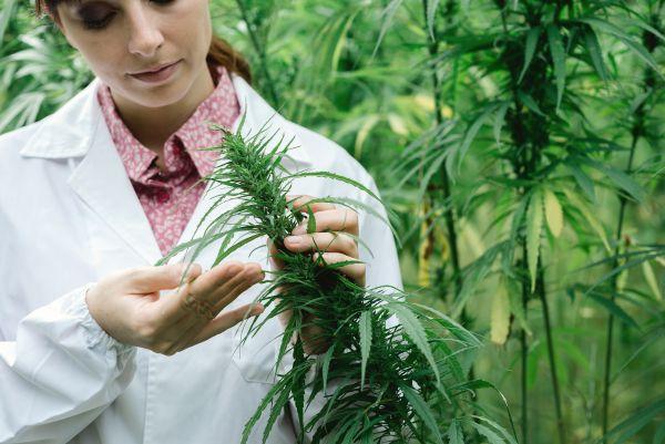 Cannabis thérapeutique : la France est (presque) prête à rejoindre le club des 30 !