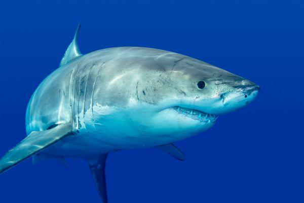 Hawaii : une rencontre incroyable entre des plongeurs et un requin blanc