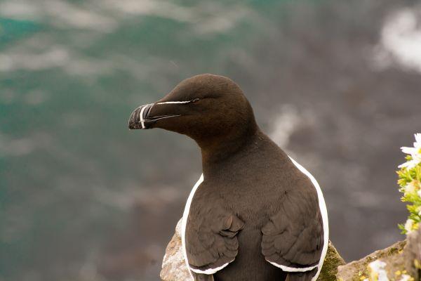 Des pingouins torda aperçus en Camargue