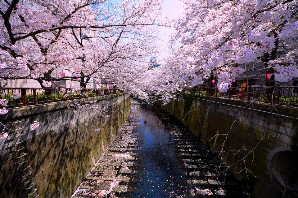 Japon le festival fleurissant d 39 hanami second sacre du printemps easyvoyage - Greffe du cerisier au printemps ...