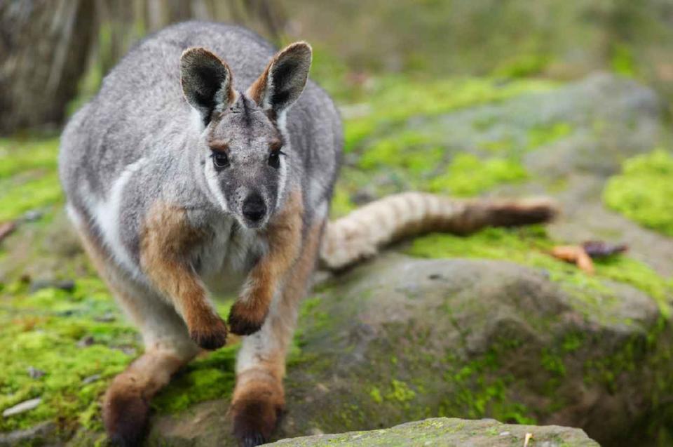 O voir des kangourous en toute libert dans les for Que voir dans les yvelines