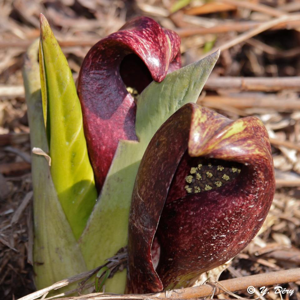 plante exotique dangereuse