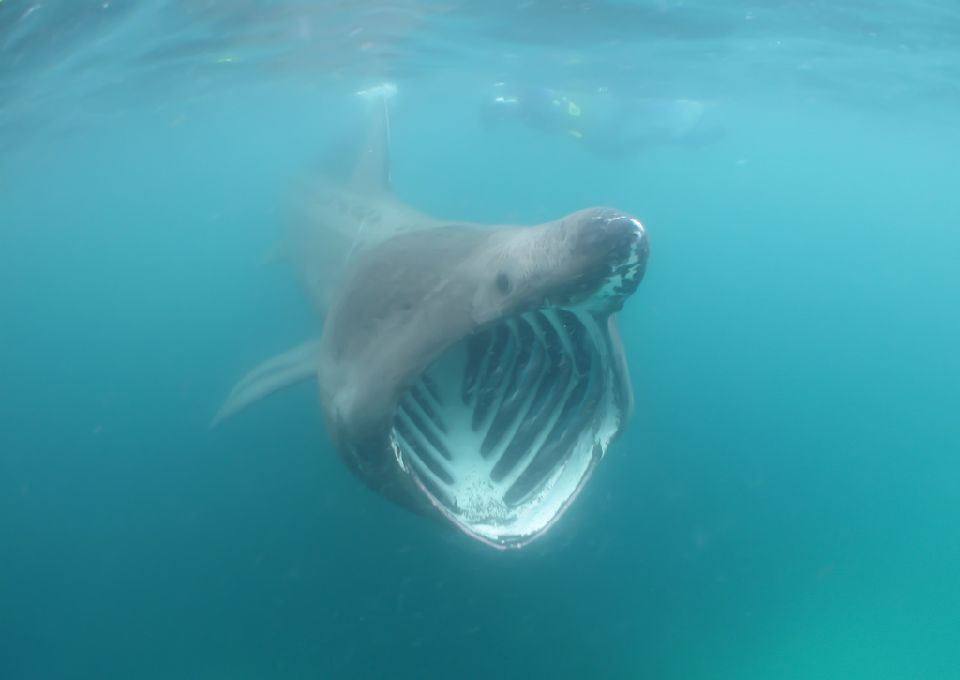 Basking sharks are the world's second largest fish