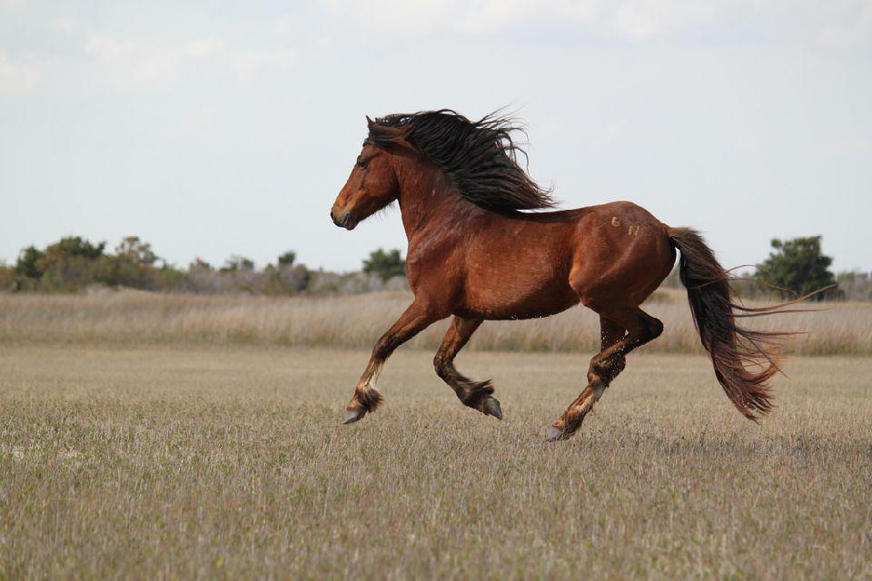 Wild Camargue horses, Camargue