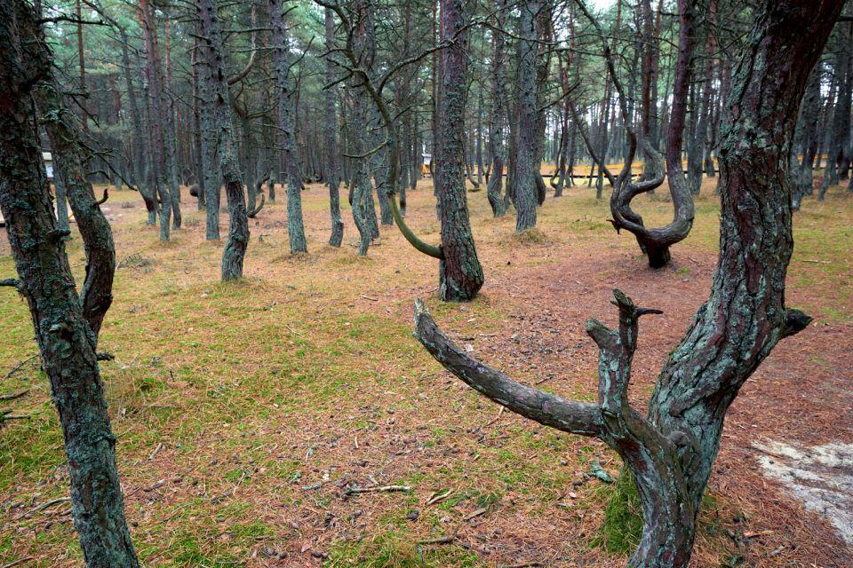La forêt dansante de Kaliningrad, Russie