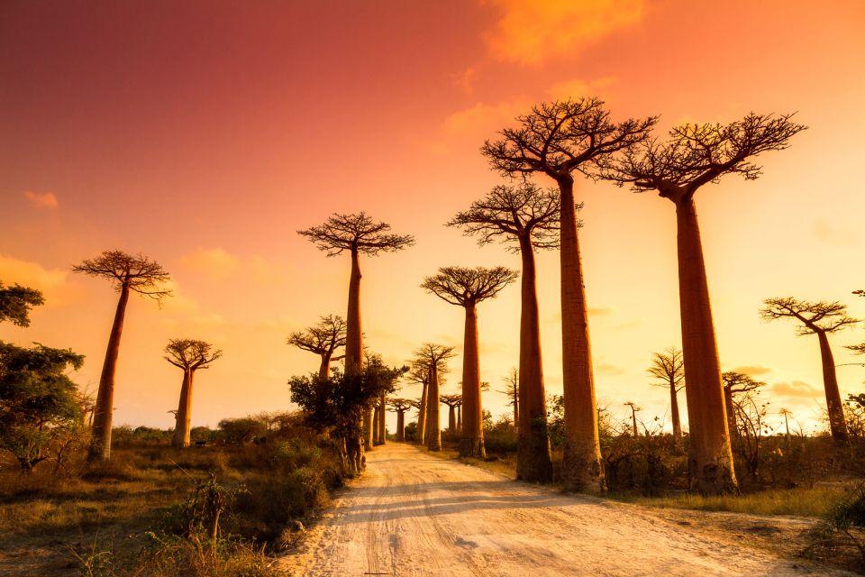 Avenue des baobabs, Madagascar